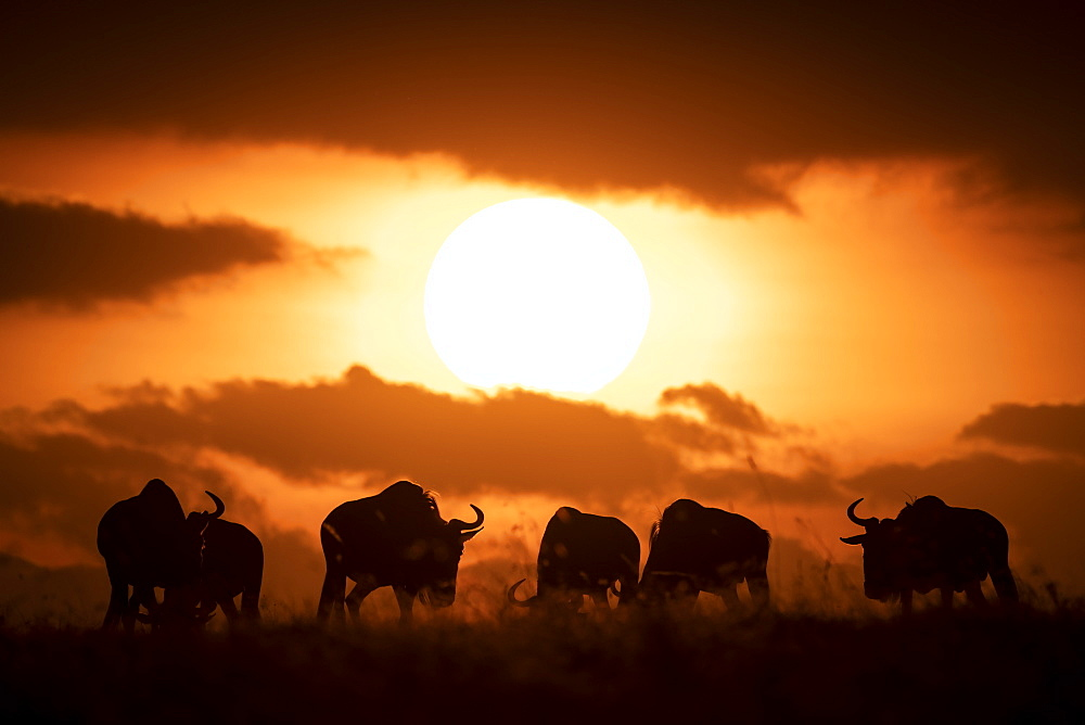 Six blue wildebeest (Connochaetes taurinus) silhouetted against setting sun, Maasai Mara National Reserve, Kenya