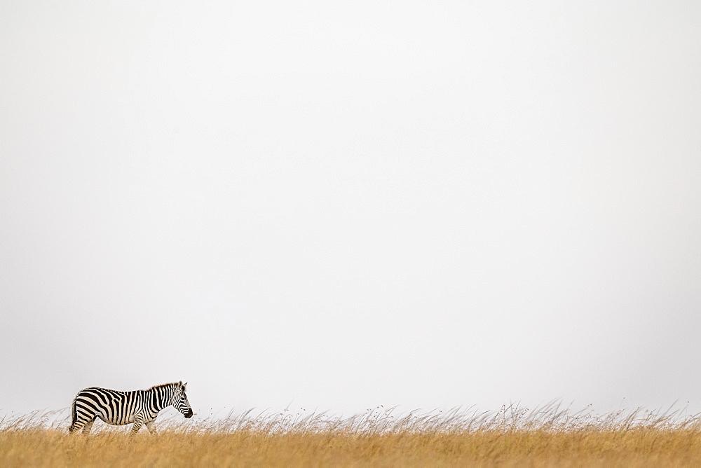 Plains zebra (Equus quagga burchellii) walking on horizon in grass, Maasai Mara National Reserve, Kenya