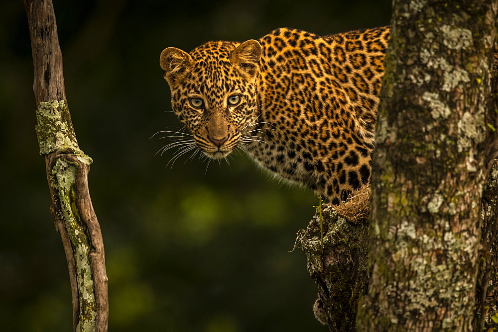 Leopard (Panthera pardus) stares between branches covered in lichen, Maasai Mara National Reserve, Kenya