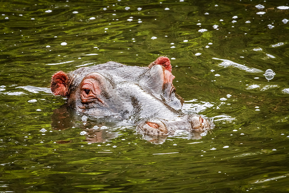 Head of hippopotamus (Hippopotamus amphibius) eyeing camera in water, Maasai Mara National Reserve, Kenya
