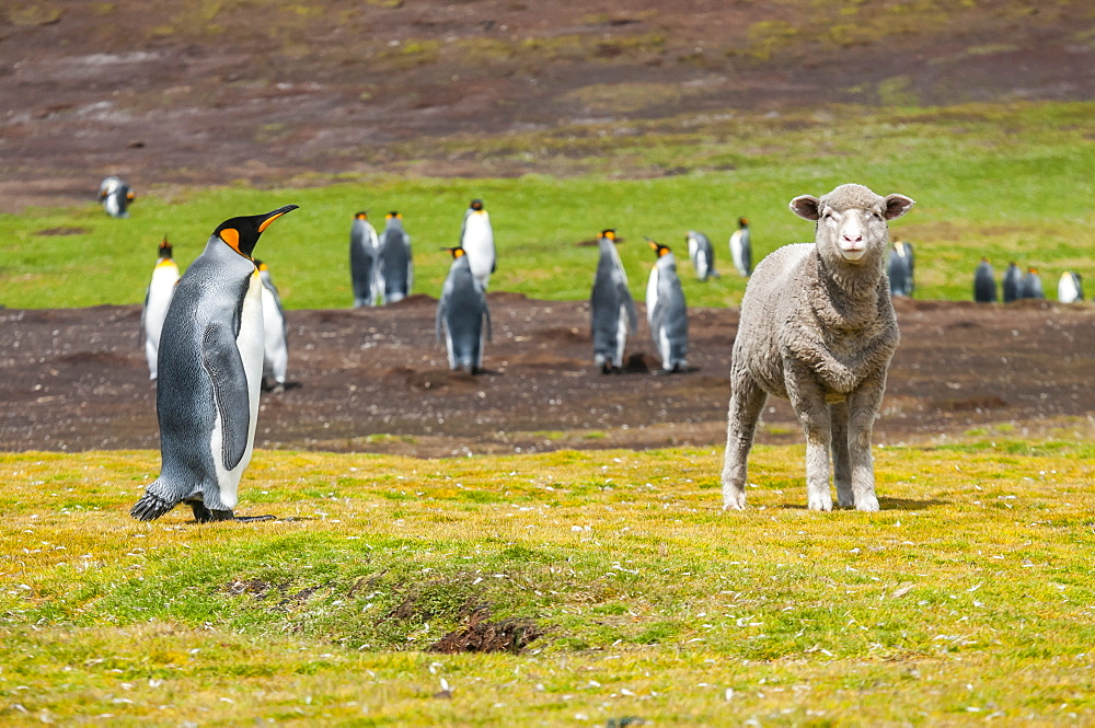 King penguins (Aptenodytes patagonicus) and a sheep (Ovis aries) in a field, Falkland Islands