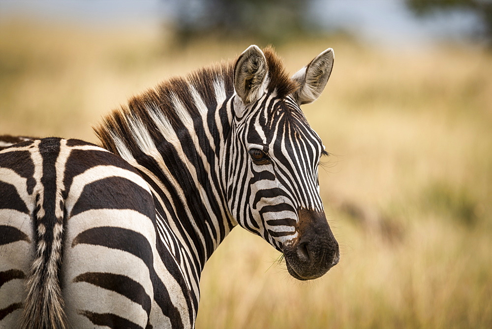 Close-up of plains zebra (Equus quagga) turning head around to look at camera, Maasai Mara National Reserve, Kenya