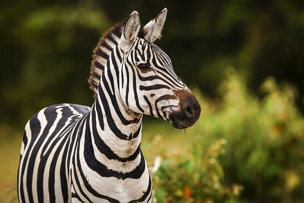 Close-up of plains zebra (Equus quagga) looking at camera, Maasai Mara National Reserve, Kenya