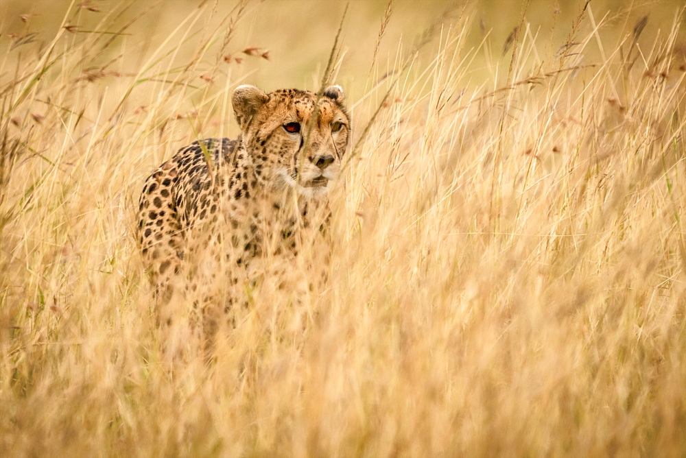 Cheetah (Acinonyx jubatus) stands in long grass in savannah, Maasai Mara National Reserve, Kenya