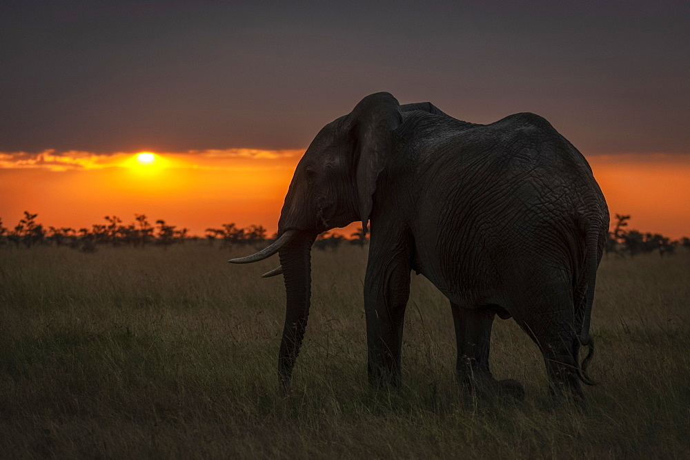 African bush elephant (Loxodonta africana) walks towards horizon at sunset, Maasai Mara National Reserve, Kenya