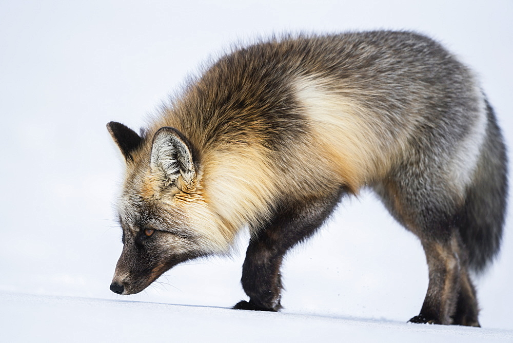 Red fox (Vulpes vulpes) walking in snow, Haines Junction, Yukon, Canada
