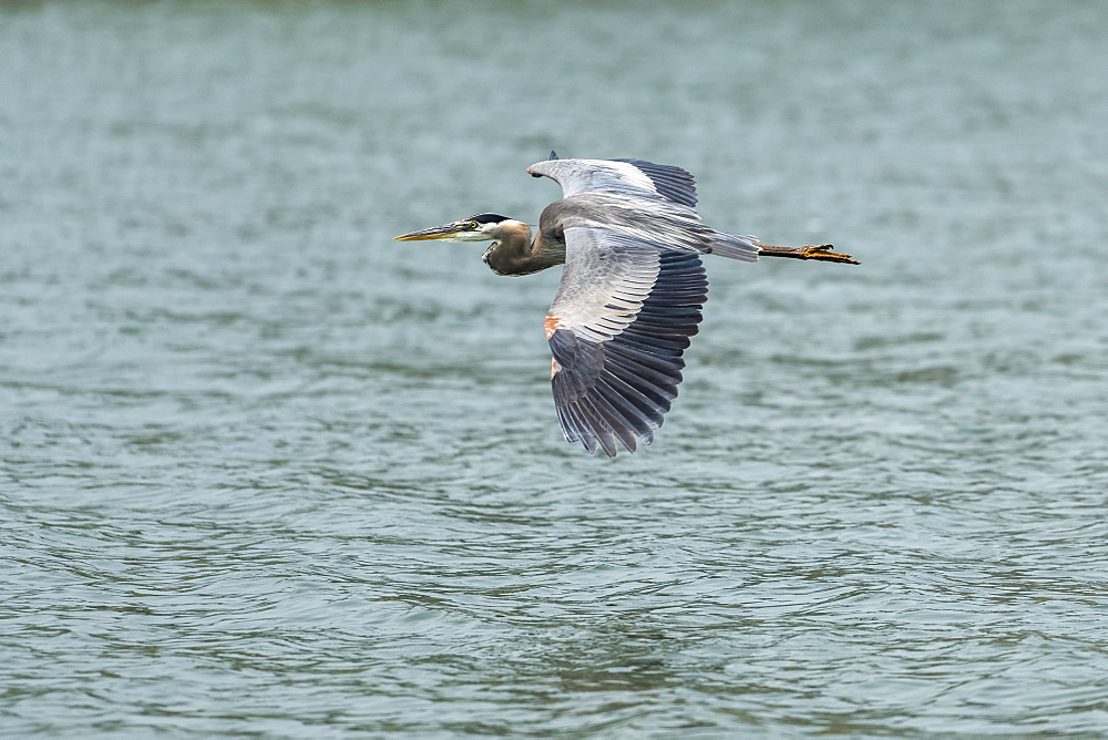 Great Blue Heron (Ardea herodias) flying over a lake, Ashland, Oregon, United States of America