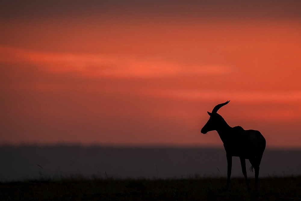 A topi (Damaliscus lunatus jimela) stands in profile on the horizon at sunset. It's body is silhouetted against the bright pink clouds in the sky, Maasai Mara National Reserve, Kenya