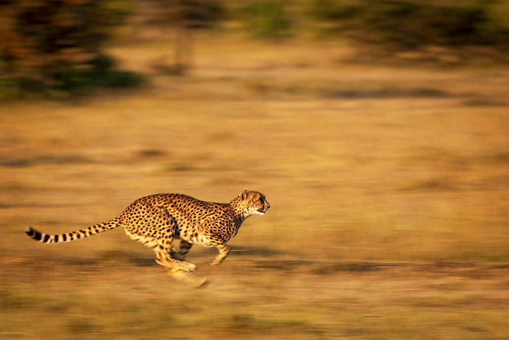 A cheetah (Acinonyx jubatus) races along with its legs tucked under its body. It has golden fur covered with black spots, and it's legs and the background are blurred by the slow shutter speed, Masai Mara, Kenya