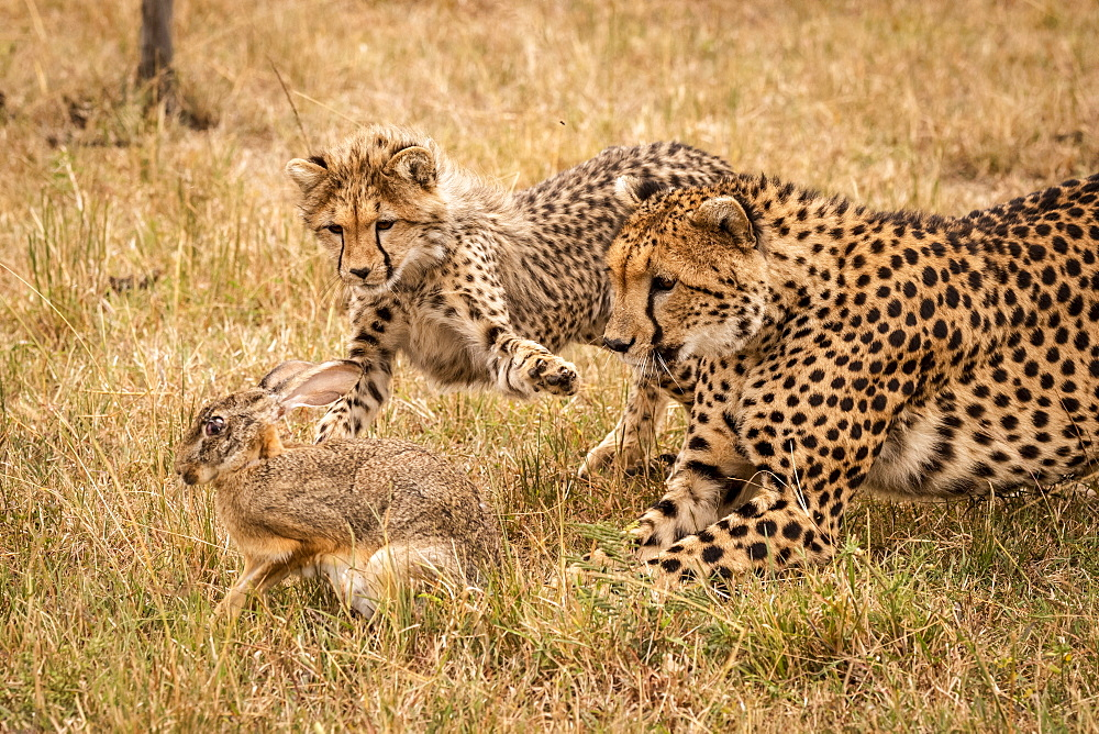 A mother cheetah (Acinonyx jubatus) and her cub chase a scrub hare (Lepus saxatilis) on a grassy plain. They have golden fur covered with black spots, and the cub is stretching out it's paw to catch the hare. Masai Mara, Kenya