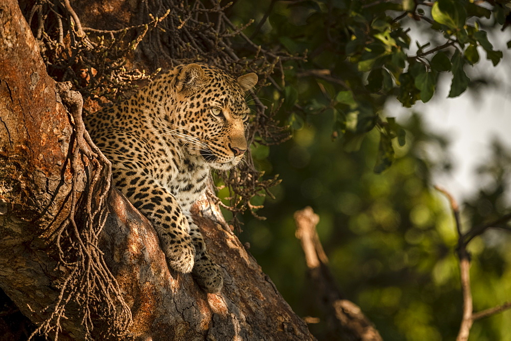 A leopard (Panthera pardus) lies in the fork of a tree with it's head up. It has black spots on it's brown fur coat and is looking for prey, Maasai Mara National Reserve, Kenya