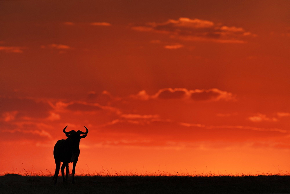 A blue wildebeest (Connochaetes taurinus) on the horizon is silhouetted against an orange sky at sunset. It's horns are visible in outline, and it's standing facing the camera, Maasai Mara National Reserve, Kenya