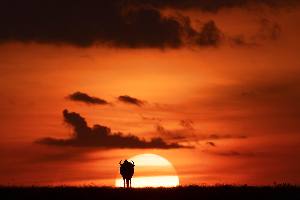 A blue wildebeest (Connochaetes taurinus) is silhouetted against the setting sun on the horizon. It has curved horns and is walking towards the sunset, Maasai Mara National Reserve, Kenya