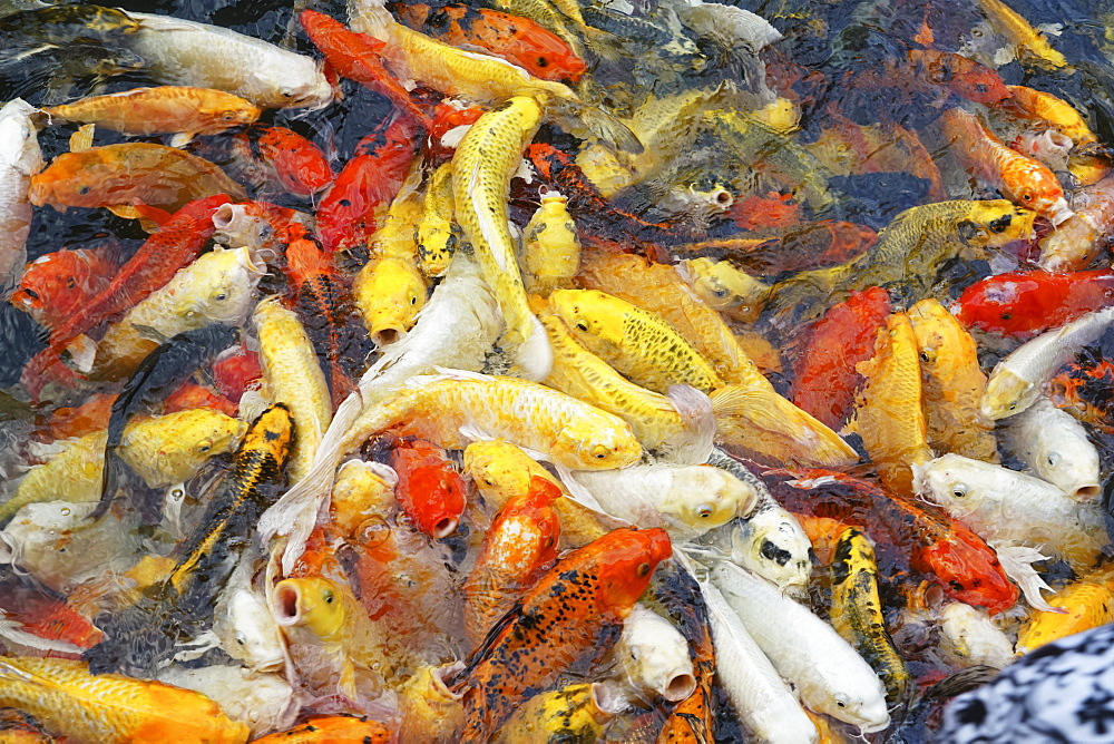 Koi fish in a pond, Thailand