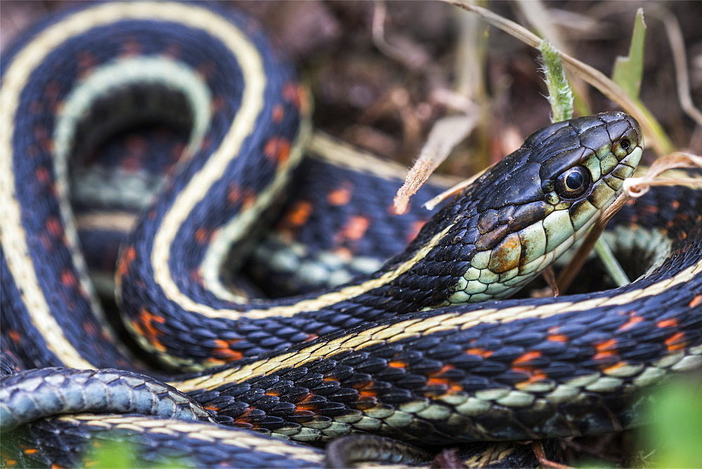 A western terrestrial garter snake (Thamnophis elegans) soaks up some sunlight in Oregon, Astoria, Oregon, United States of America