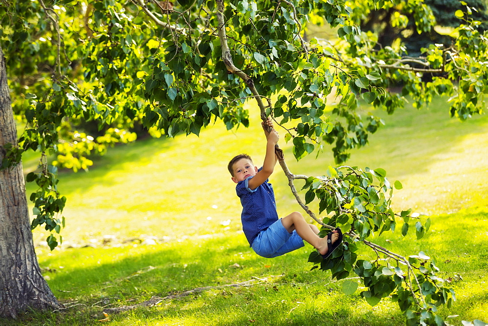 A young boy swinging fearlessly from a tree branch in park during a family outing on a warm fall day, Edmonton, Alberta, Canada