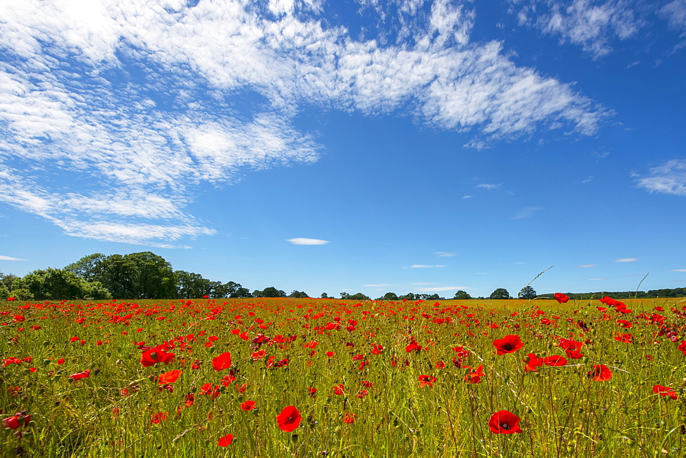 Red poppies in a field with trees in the distance and blue sky with clouds, near Corbridge, Northumberland, England