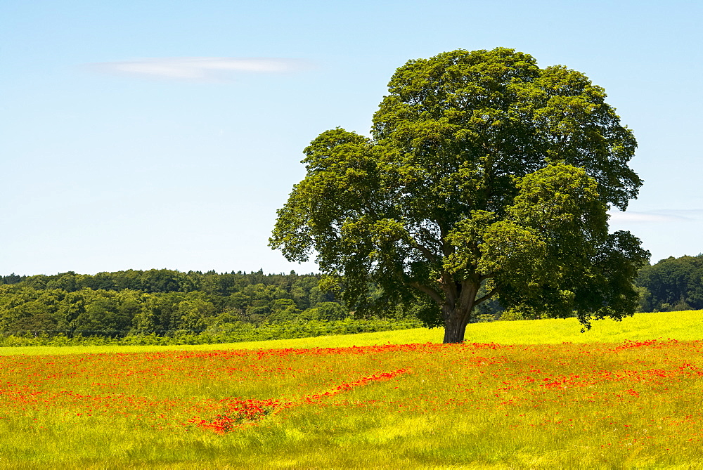 Red poppies in a field with a large tree and blue sky, near Corbridge, Northumberland, England