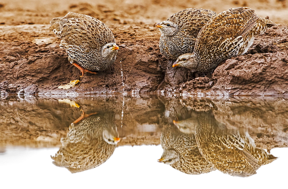 Three Natal spurfowl (Pternistis natalensis) drinking from the water's edge, Botswana