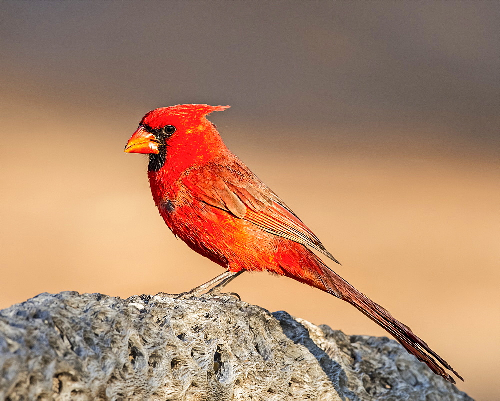 Male northern cardinal (Cardinalis cardinalis), Elephant Head, Arizona, United States of America