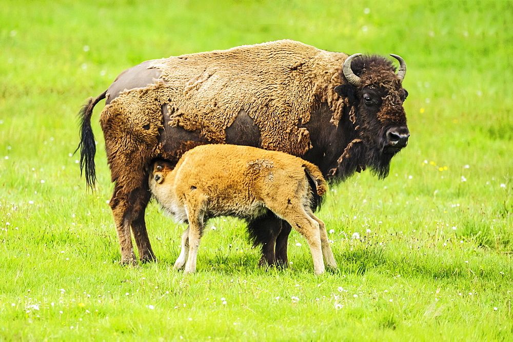Bison nursing it's young, Yellowstone National Park, Wyoming, United States of America