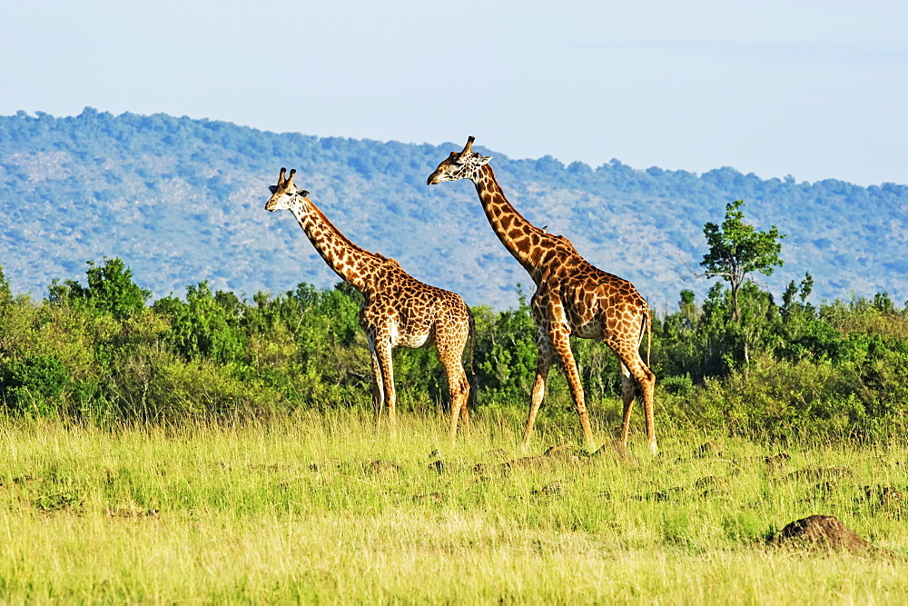Two giraffes (Giraffa) walking on grass, Kenya