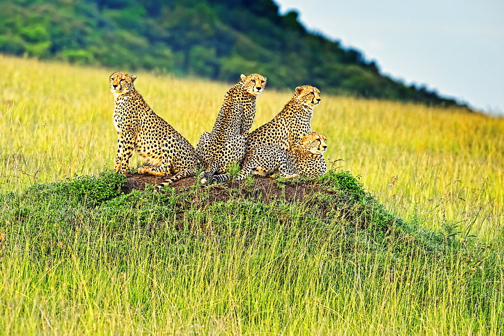 Four Cheetahs (Acinonyx jubatus) sitting on an ant mound, Kenya
