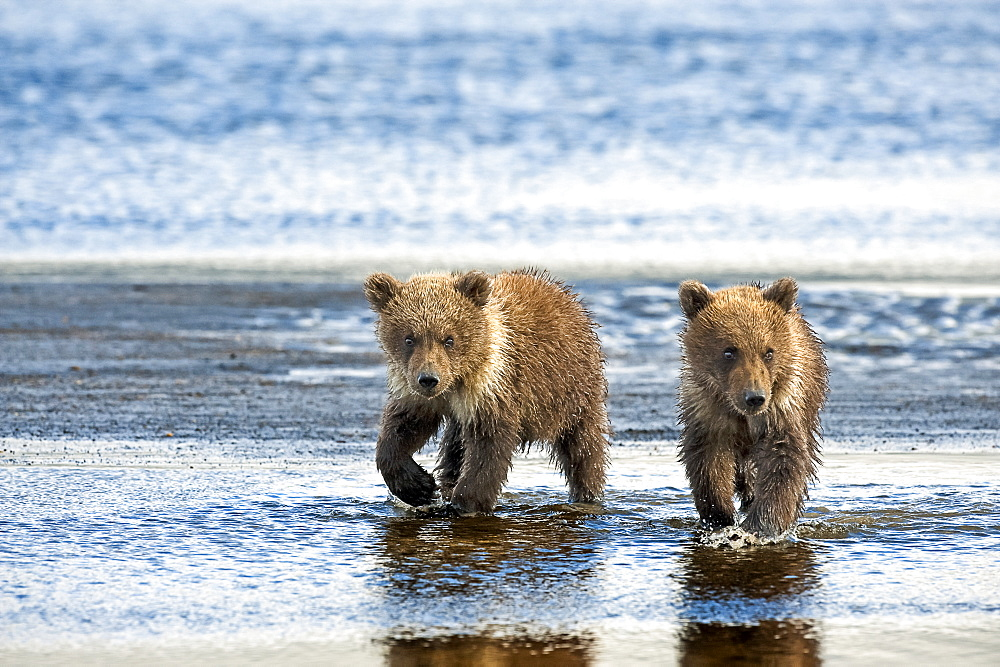 Two Kodiak Bears (Ursus arctos middendorffi) walking together along a wet beach, Katmai National Park, Alaska, United States of America