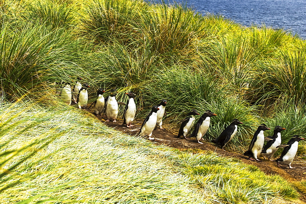 Rockhopper Penguins (Eudyptes), walking in a row on a path to the water, West Point Island, Falkland Islands