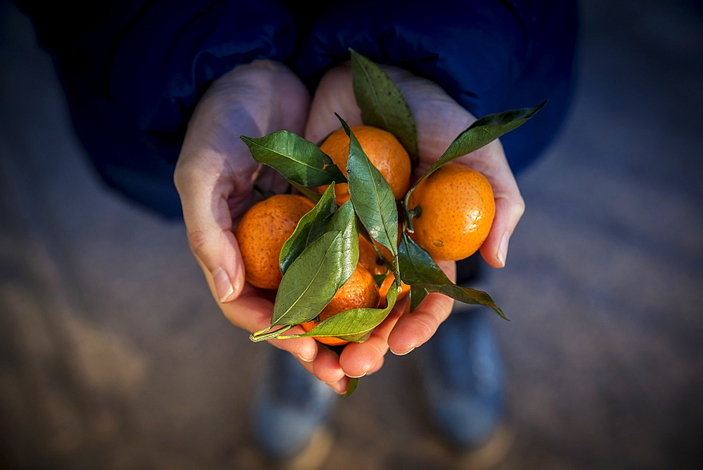 Hands holding mandarin oranges, Beijing, China