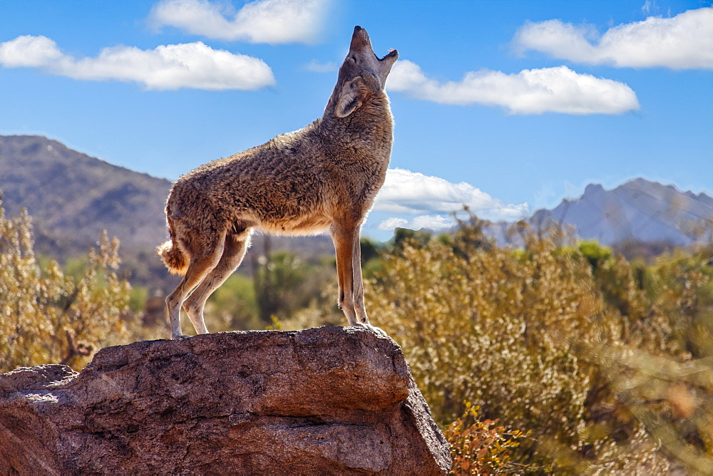Howling Wolf (canis lupus), Tuscon, Arizona, United States of America