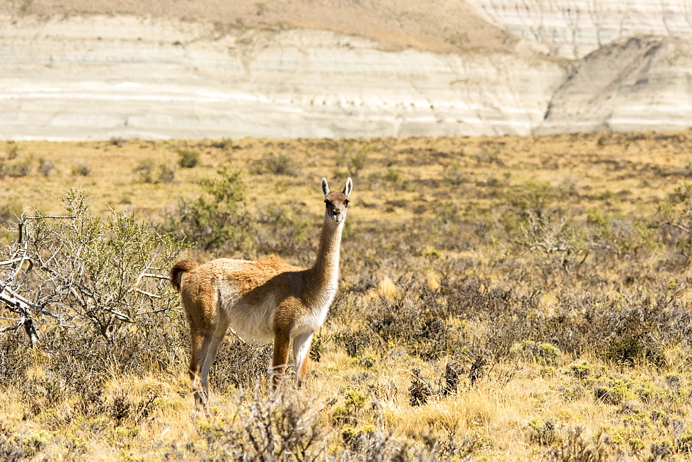 A Vicuna (Vicugna vicugna) is standing and looking at the camera in a desert setting with a hill in the background, Santa Cruz, Chile
