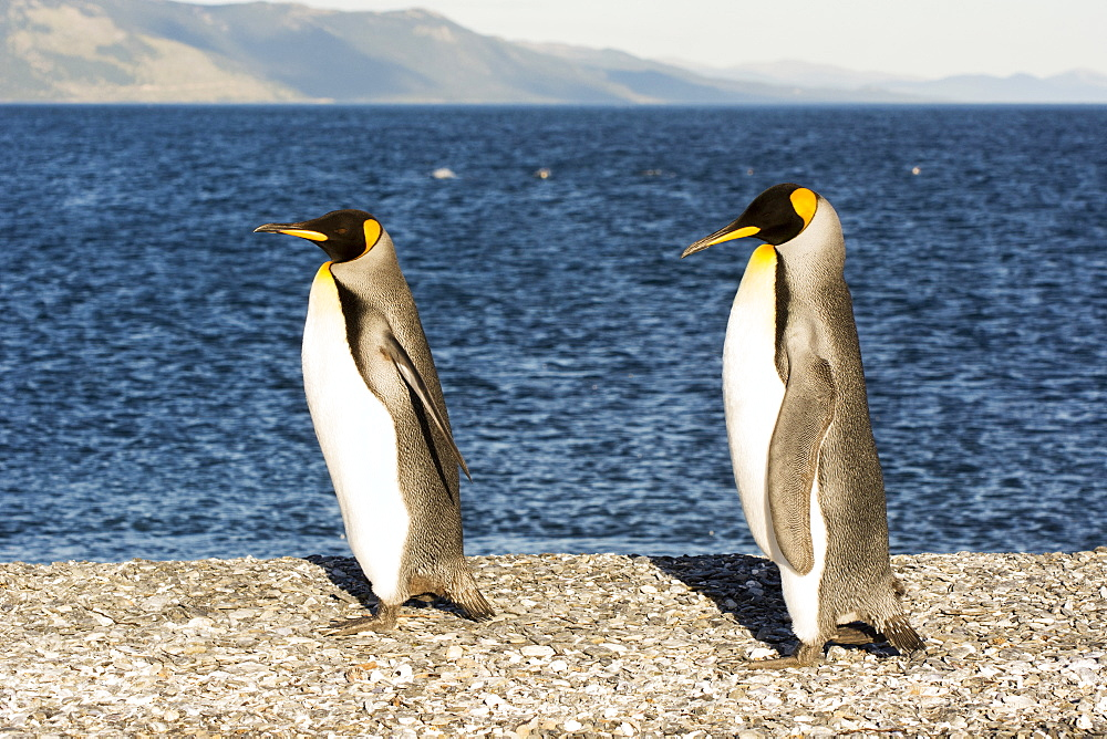 Two king penguins (Aptenodytes patagonicus) walk proudly along a pebble beach, Ushuaia, Tierra del Fuego, Argentina
