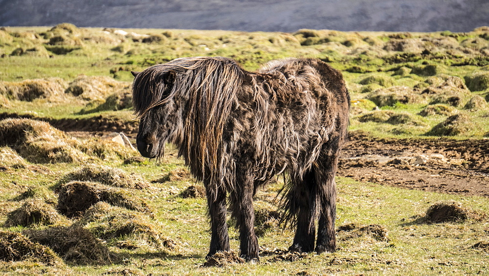 A sturdy Icelandic horse braves the cold conditions in Western Iceland, Iceland