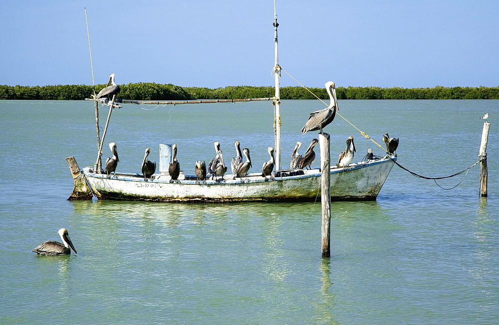 Eighteen Brown pelicans (Pelecanus occidentalis) on and around an old, small fishing boat in winter, Rio Lagartos, Yucatan, Mexico