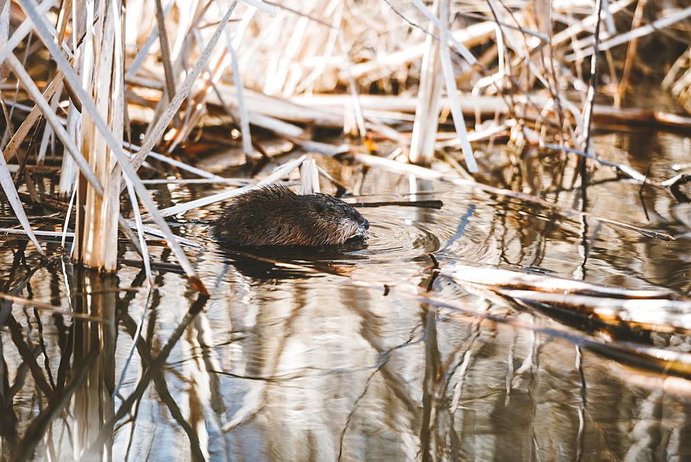 North American Beaver (Castor canadensis) in water, Elk Island National Park, Alberta, Canada