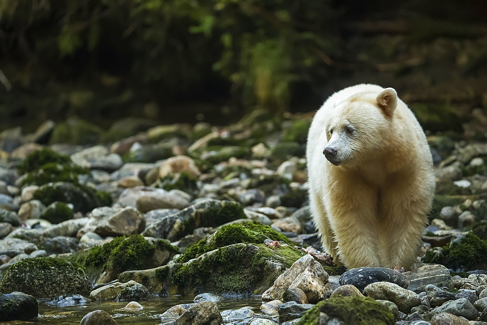Kermode Bear (Ursus americanus kermodei), also known as the Spirit Bear, fishing in a stream in the Great Bear Rainforest, Hartley Bay, British Columbia, Canada