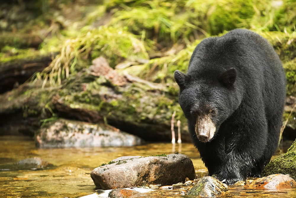 Black bear (Ursus americanus) fishing in the Great Bear Rainforest, Hartley Bay, British Columbia, Canada