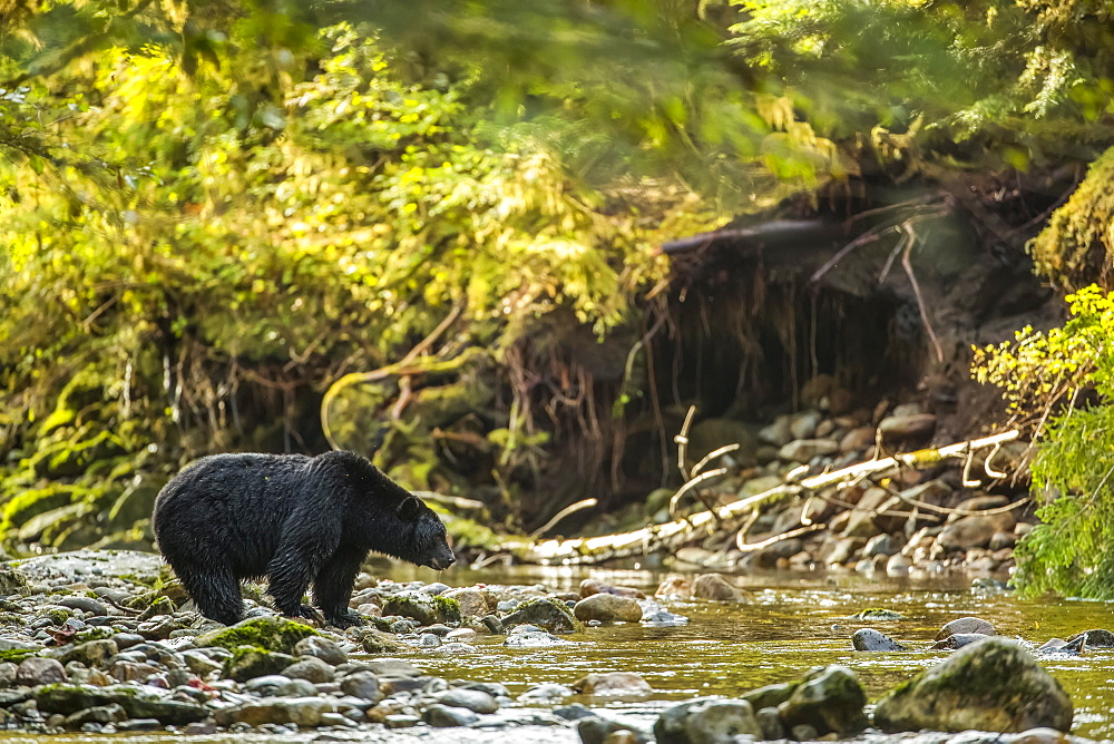 Black bear (Ursus americanus) fishing in a stream in the Great Bear Rainforest, Hartley Bay, British Columbia, Canada