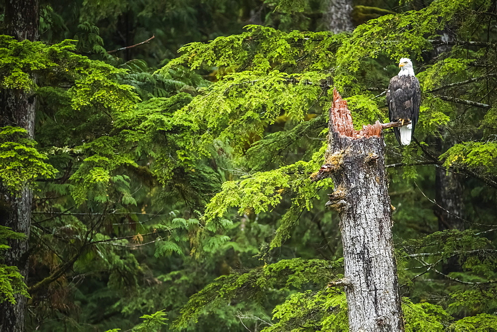 Bald Eagle (Haliaeetus leucocephalus) sitting in a tree in the Great Bear Rainforest, Hartley Bay, British Columbia, Canada