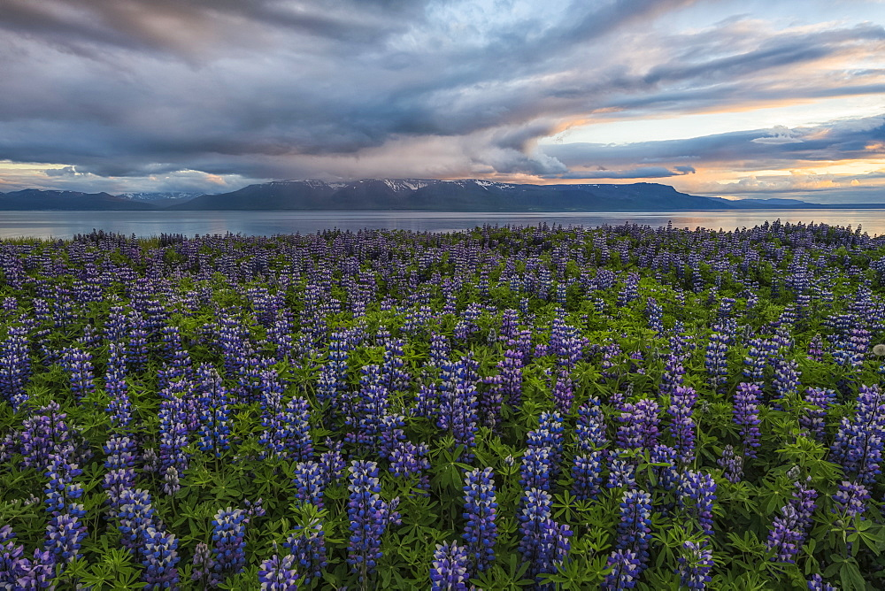 Lupines in the Icelandic landscape, Snaefellsness Peninsula, Iceland