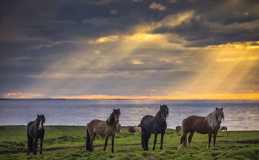 Icelandic horses standing in a row on the shore at sunset, Hofsos, Iceland