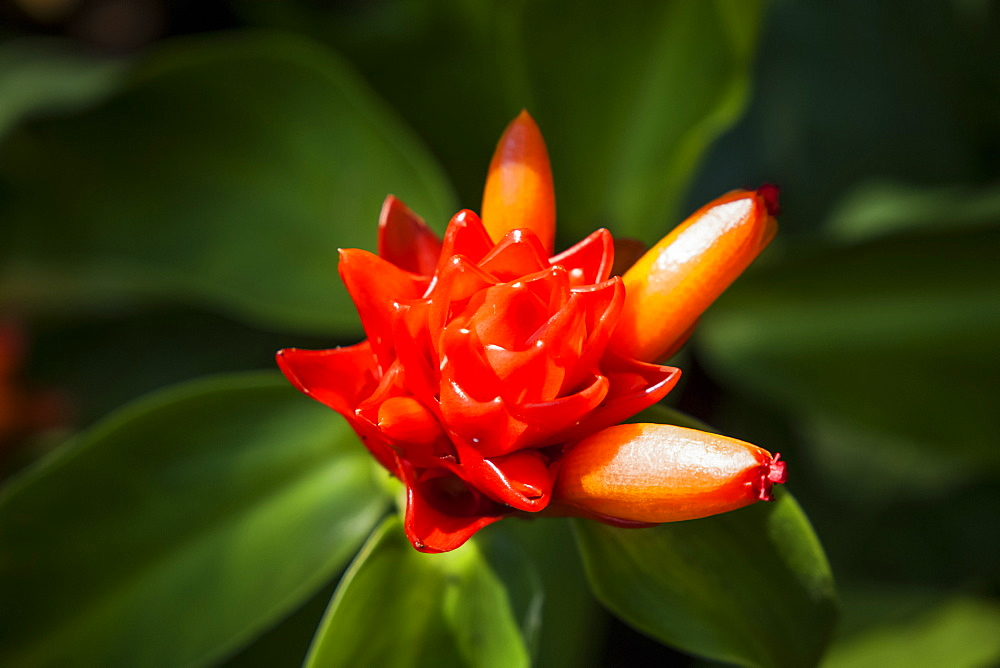 Close-up of an orange tropical flower in bloom, Hawaii Tropical Botanical Garden at Onomea Valley and Bay, near Hilo, Island of Hawaii, Hawaii, United States of America