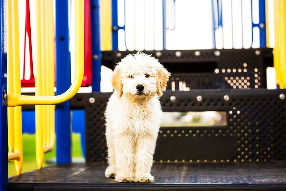 A cute poodle standing on some playground equipment and posing for the camera, Spruce Grove, Alberta, Canada
