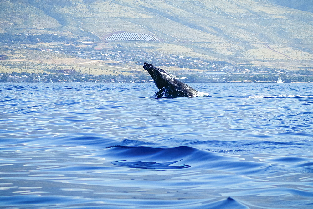 Humpback whale (Megaptera novaeangliae) inflated head lunge, Lahaina, Maui, Hawaii, United States of America