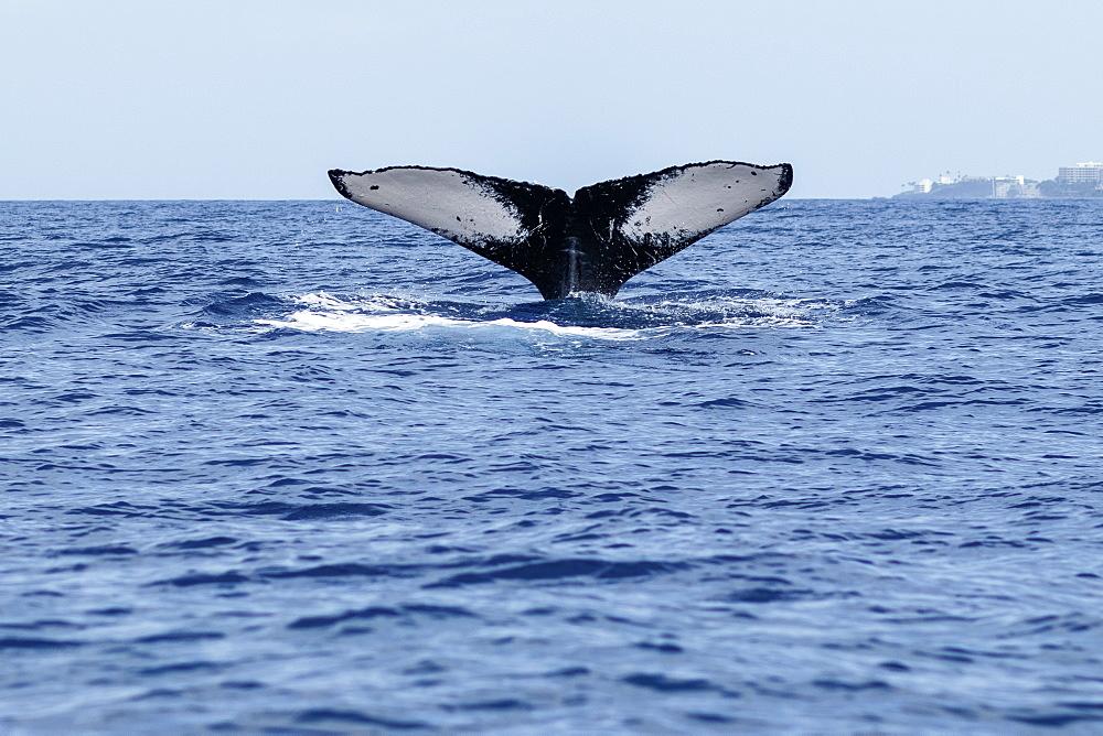 Humpback whale (Megaptera novaeangliae) tail fluke, Lahaina, Maui, Hawaii, United States of America