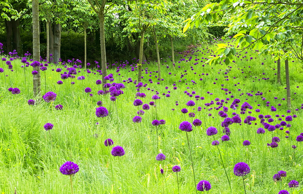 Field of alliums (Purple sensation) in The Cherry Orchard of The Alnwick Garden, Northumberland,England