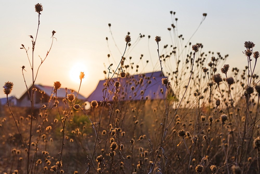 The setting sun over the summer houses in a village with tall grasses in the foreground, Tarusa, Russia