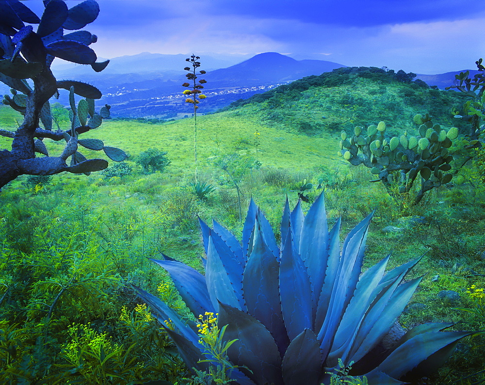 Agave plant on a lush landscape near Mexico City, Mexico