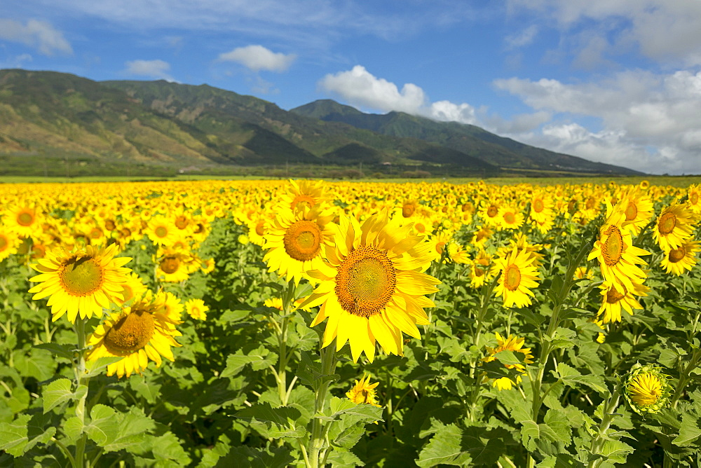 Large field of sunflowers in bloom in Central Maui. Flowers will be used for biofuel, Waiehu, Maui, Hawaii, United States of America